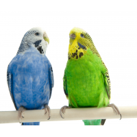 Budgerigar (1 month old)